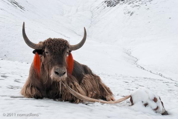 Yak, Laken La, U, Tibet