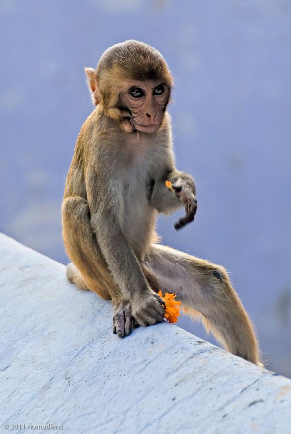 Rhesus Macaque, Varanasi, UP, India
