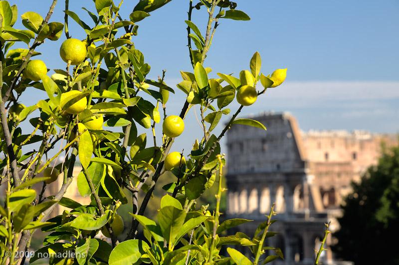 Lemon Tree, Palatine Hill, Rome, Italy