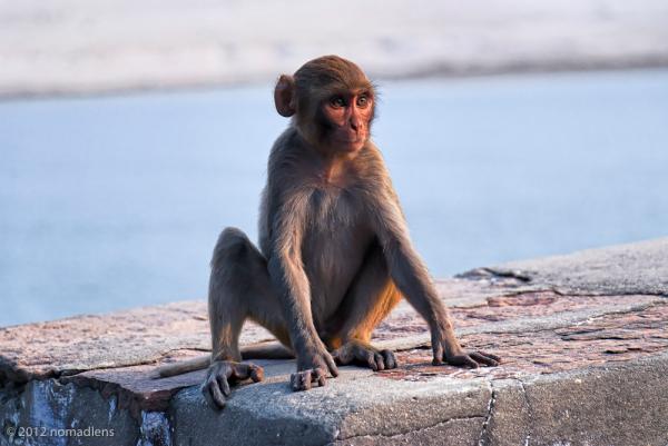 Monkey, Varanasi, UP, India