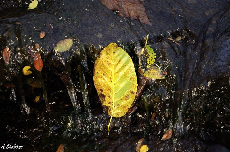 Yellow leaf & water