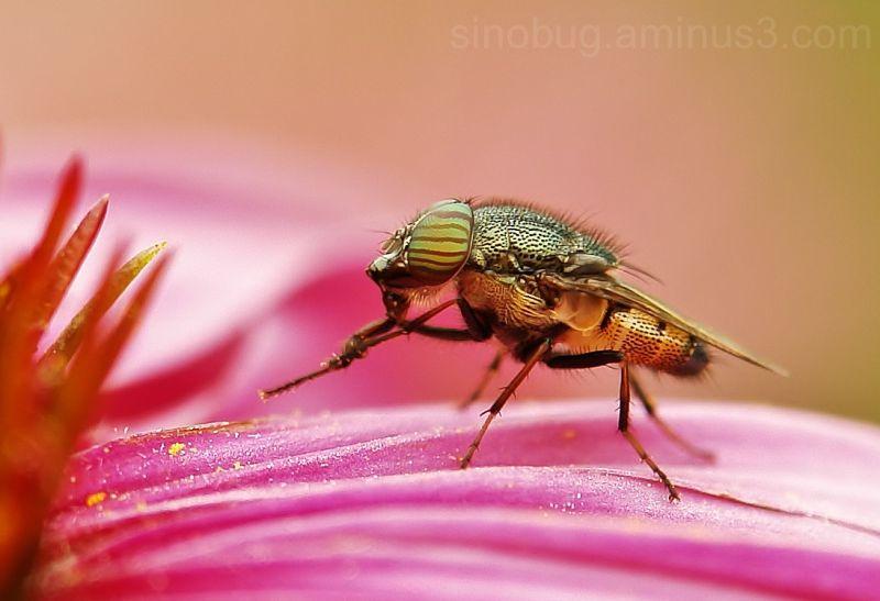 Diptera Blowfly Stomorhina Rhiniinae Calliphoridae