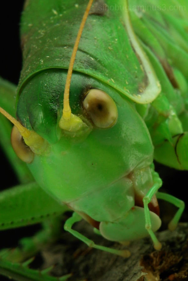 cricket orthoptera macro insect
