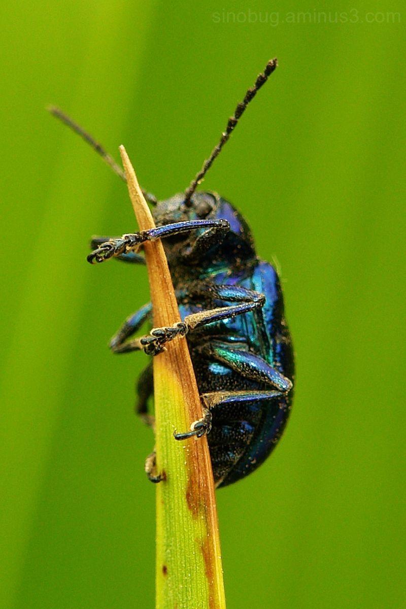 beetle leaf Chrysomelidae agelasfica alni macro