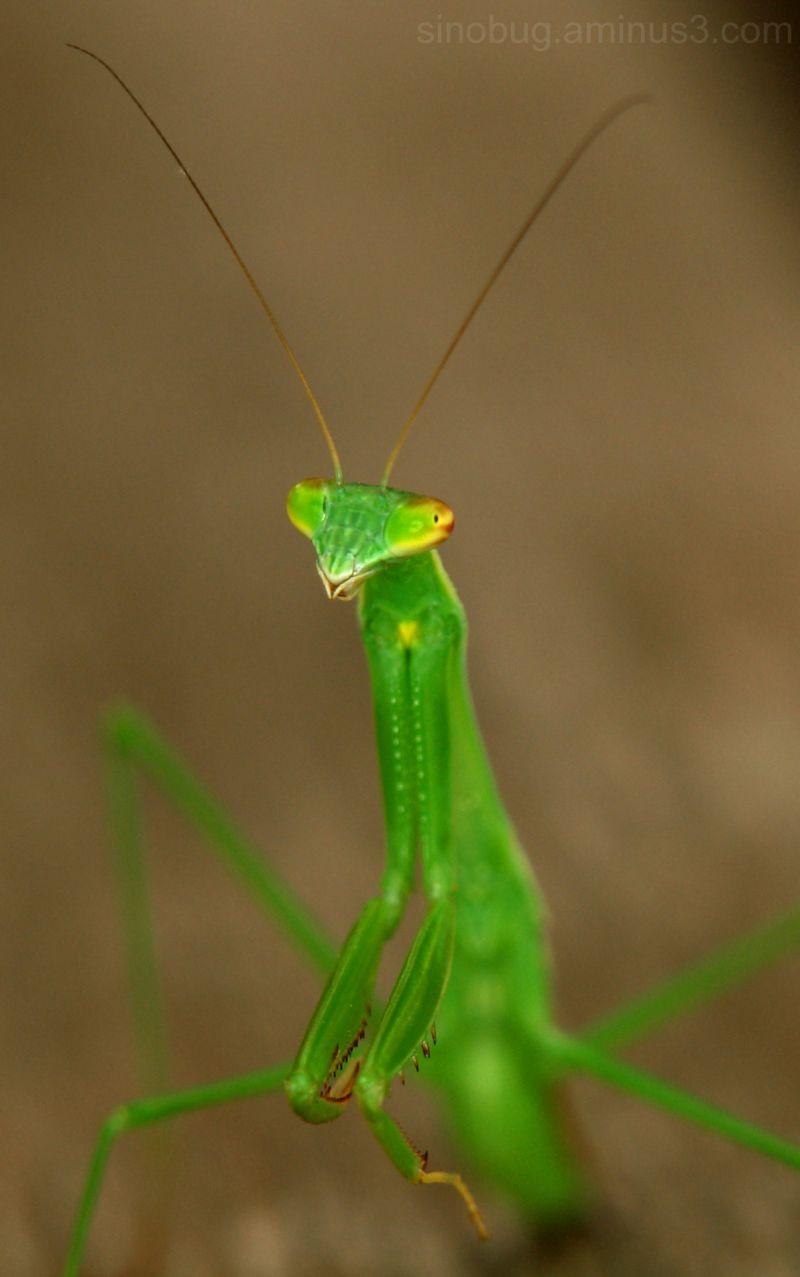 praying mantis macro insect