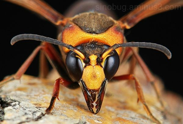 macro insect potter wasp Eumenidae