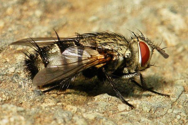 macro insect fly flesh sarcophagidae