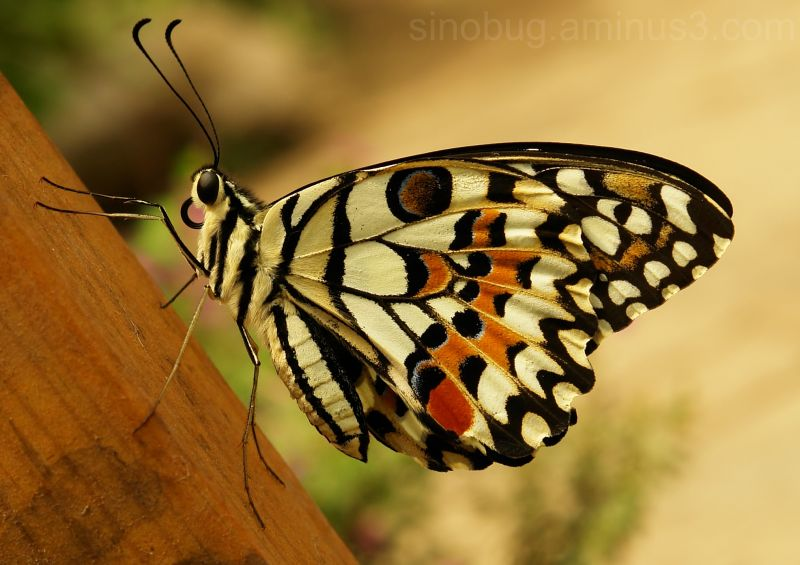macro insect lime butterfly Papilio demoleus