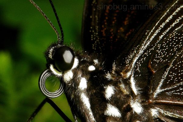 macro Chinese Peacock butterfly Papilio bianor