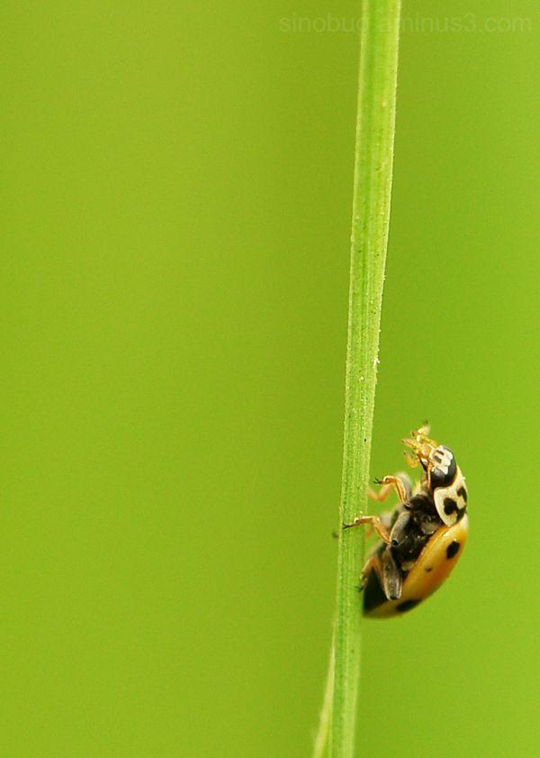 macro insect Harmonia aryridis ladybird beetle