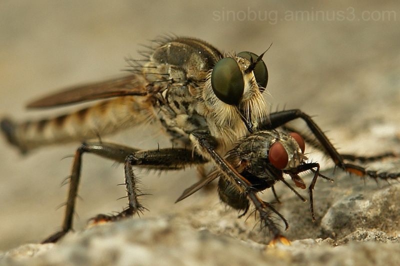 macro insect robber fly