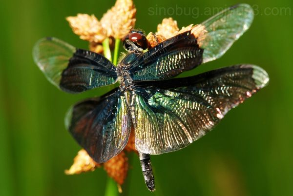 macro insect Rhyothemis fuliginosa dragonfly blue