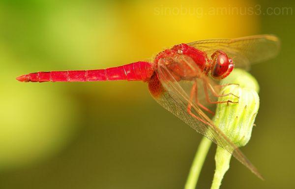 dragongly Crimson Scarlet Crocothemis servilia
