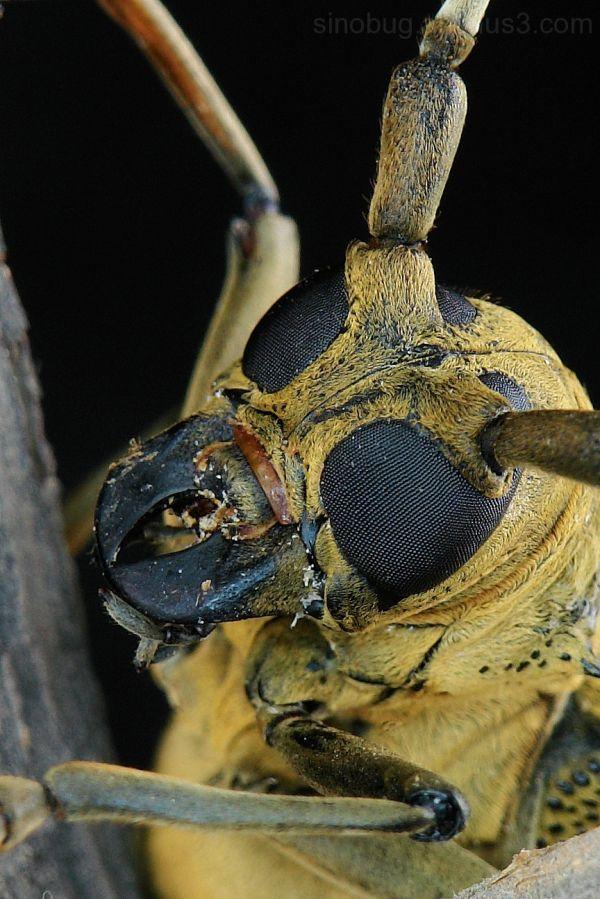 macro Mulberry Longhorn Beetle Apriona germari