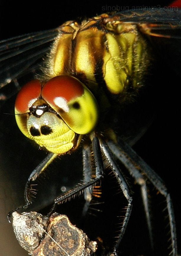 Darter Dragonfly Sympetrum eroticum macro insect