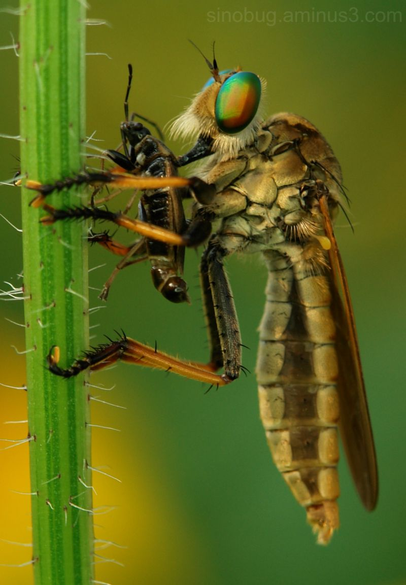 macro insect robber fly Asilidae