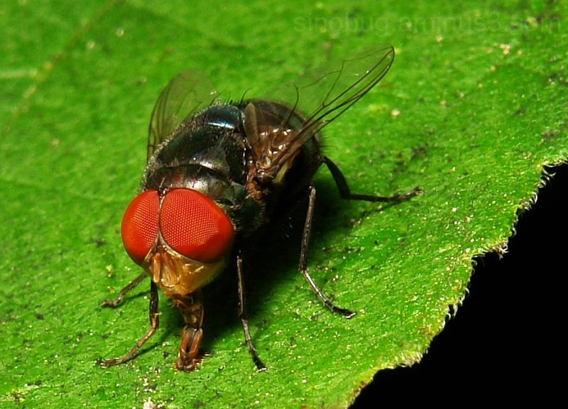 macro insect Chrysomya rufifacies blowfly