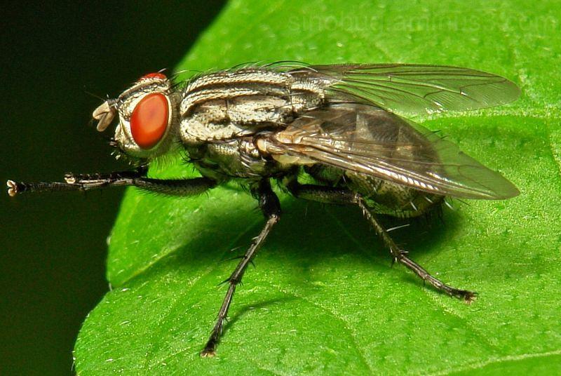 macro insect flesh fly Sarcophagidae