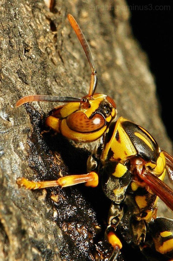 macro insect Paper Wasp Polistes rothneyi