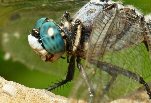 macro dragonfly Skimmer Orthetrum albistylum