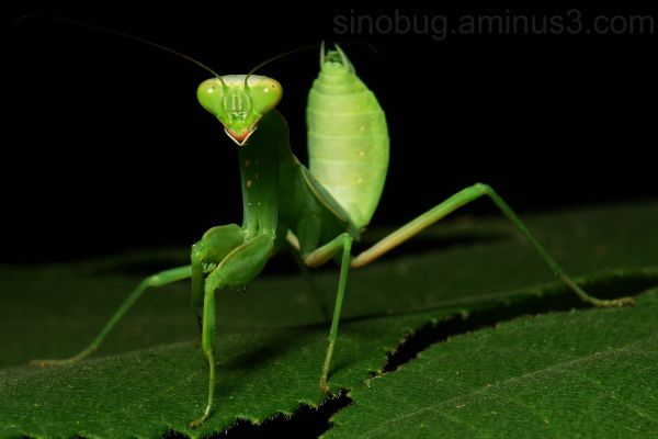 macro insect praying mantis juvenile