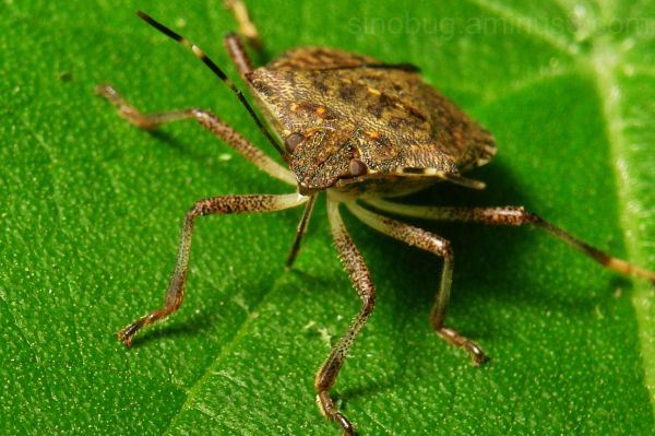 macro insect Pentatomid Shield Bug