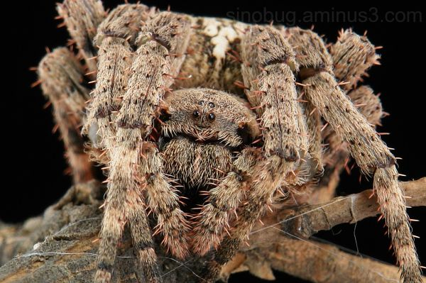 macro spider Orb-weaving Araneus ventricosus