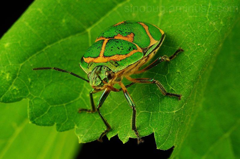 macro insect clown stink bug Poecilocoris lewisi