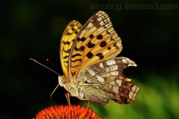 macro insect Fabriciana adippe Fritillary Brown