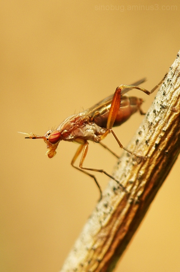 macro insect marsh fly Sciomyzidae
