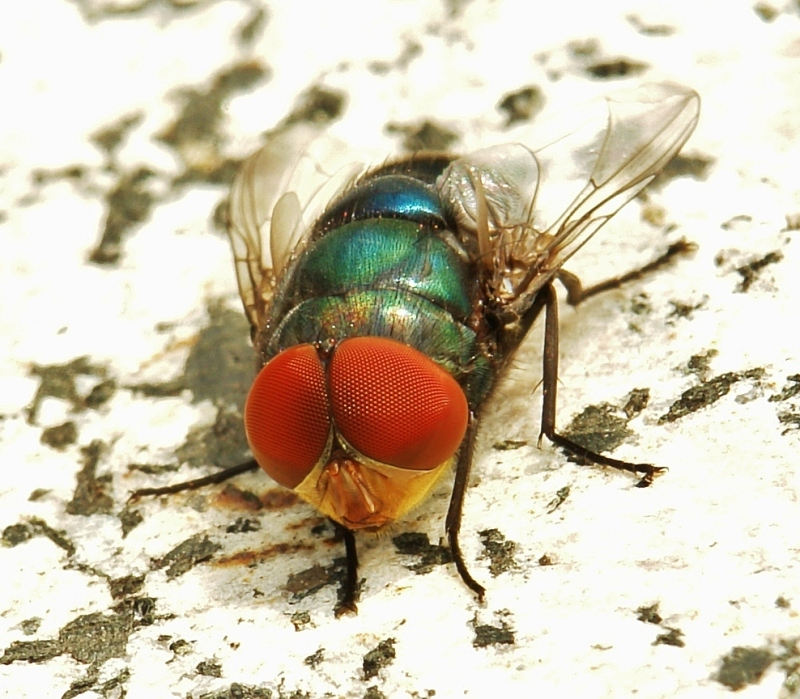 macro insect blowfly Chrysomya rufifacies