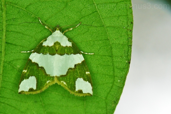 macro moth China insect Nolidae