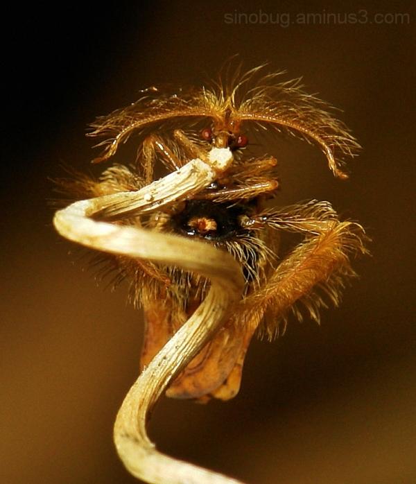macro insect China assassin bug Holoptilinae