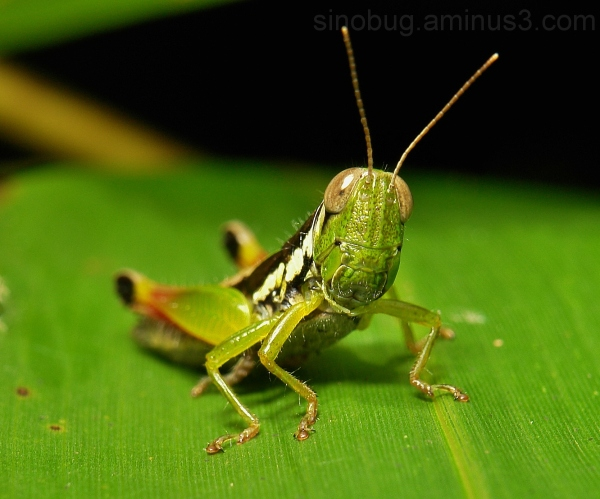 macro insect China grasshopper