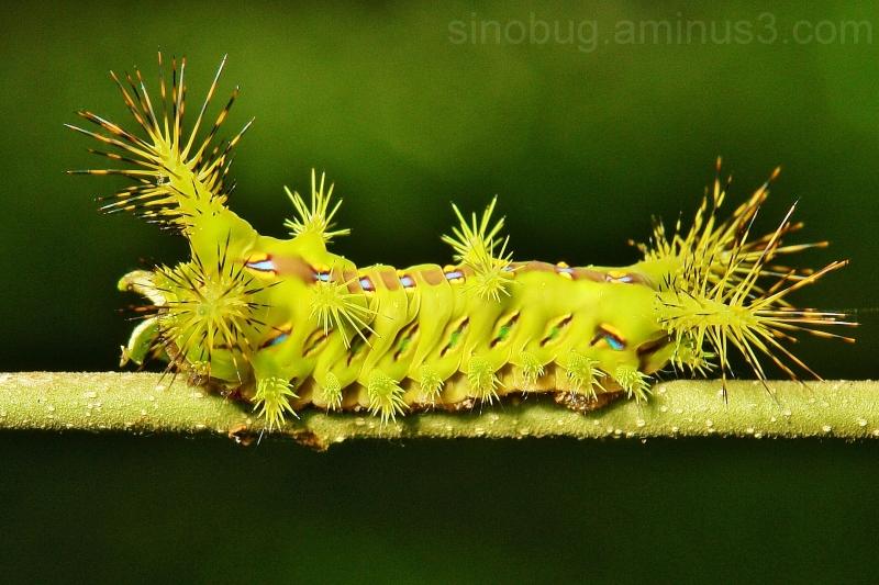 macro insect China Nettle caterpillar Limacodidae