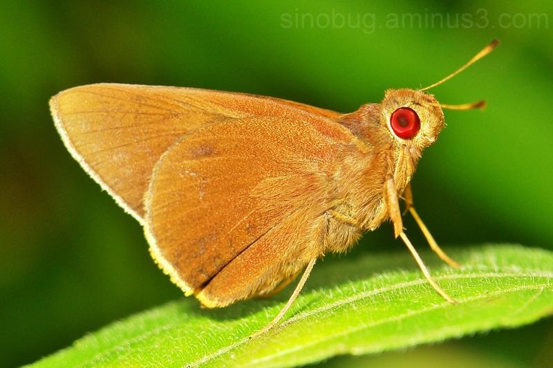macro insect China  Skipper matapa aria redeye