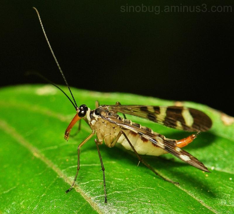 macro insect China scorpionfly Panorpidae