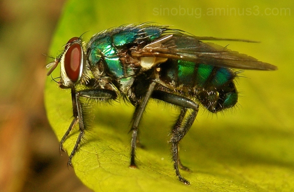 macro insect China Diptera blowfly Calliphoridae