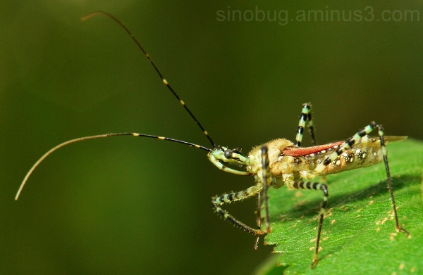 macro insect China assassin bug Reduviidae