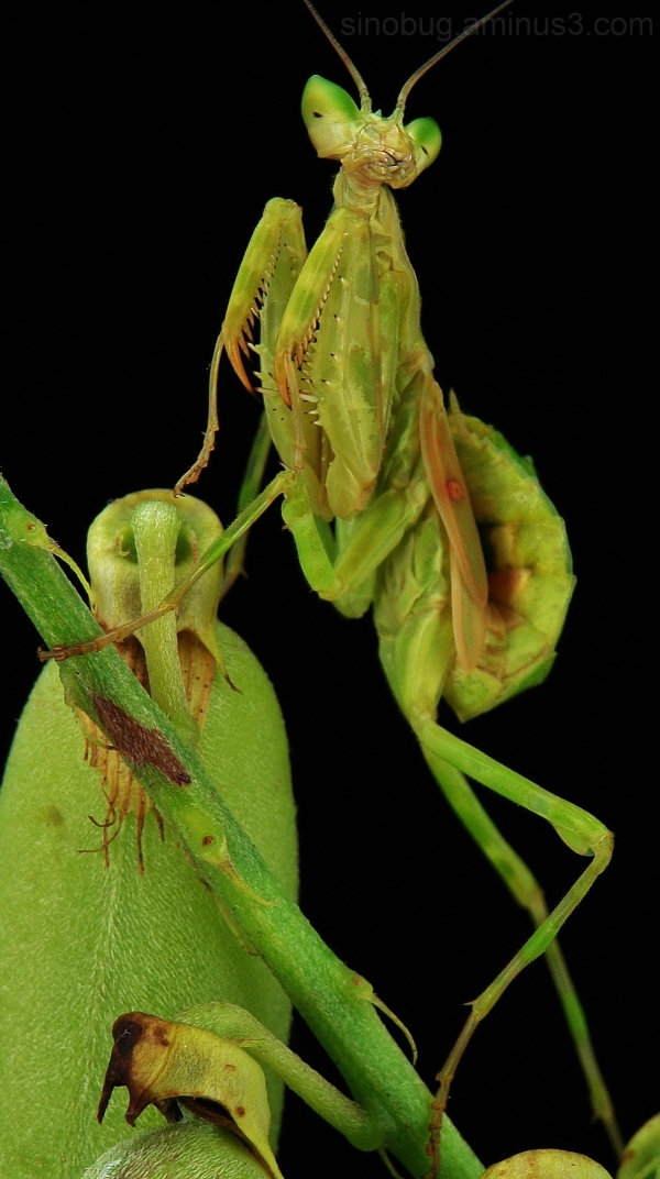 macro insect China praying mantis