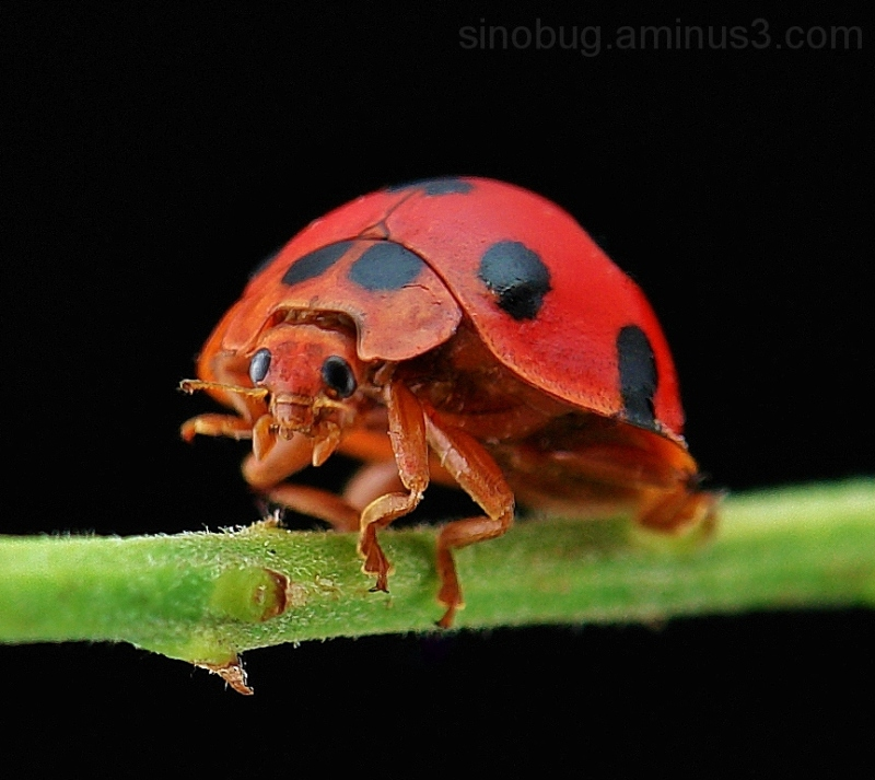 macro insect China ladybird Coccinellidae beetle