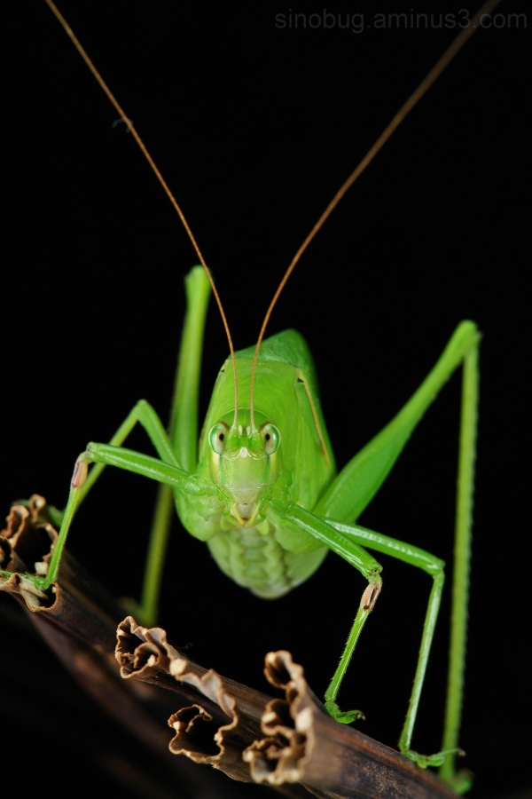 macro China katydid cricket Phaneropteridae