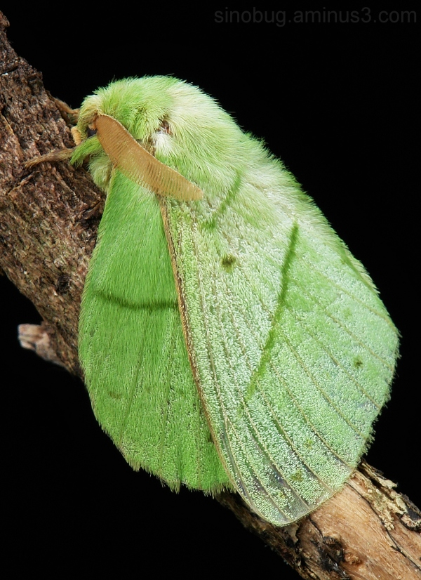 macro China insect Lappet Moth Trabala