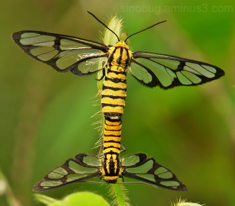 macro China Tiger-Striped Clearwing Moths Amata
