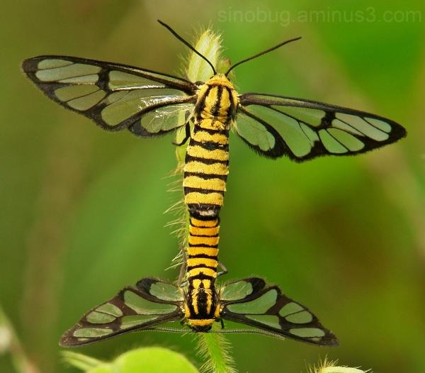 macro China Tiger-Striped Clearwing Moths Amata