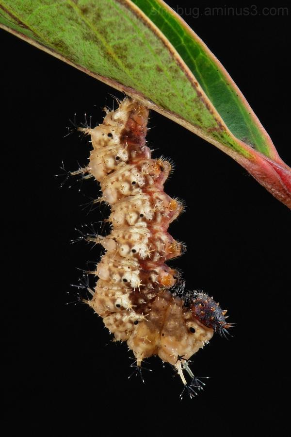 macro China caterpillar Athyma perius butterfly