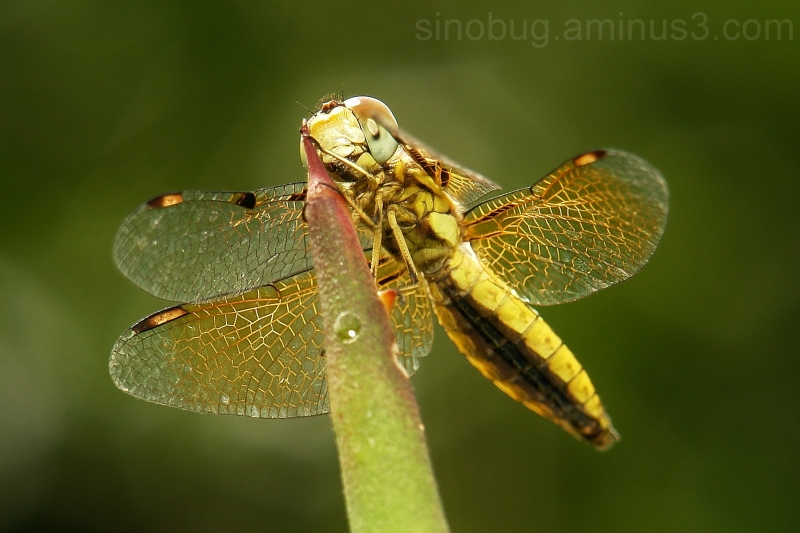 dragonfly Asian Widow Palpopleura sexmaculata