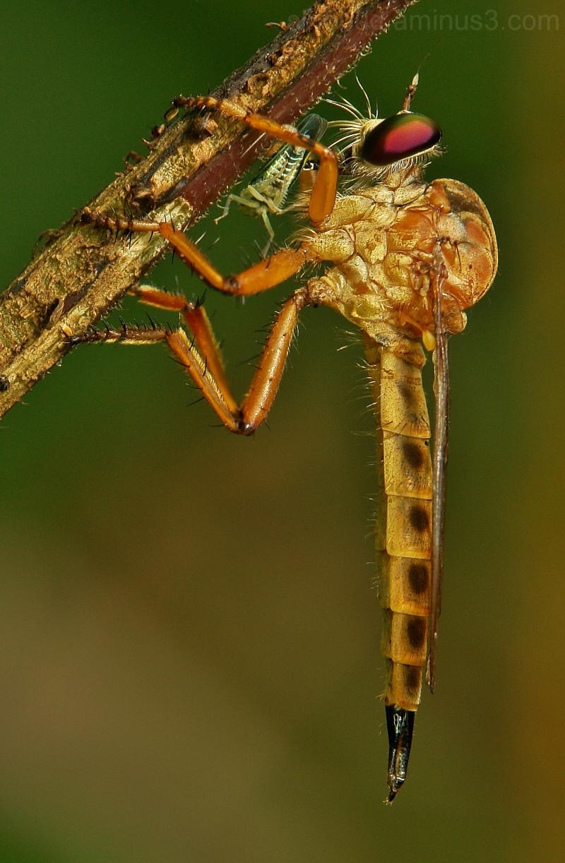 macro China robber fly Cophinopoda chinensis