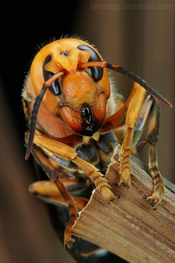 macro China Asian Giant Hornet Vespa mandarinia
