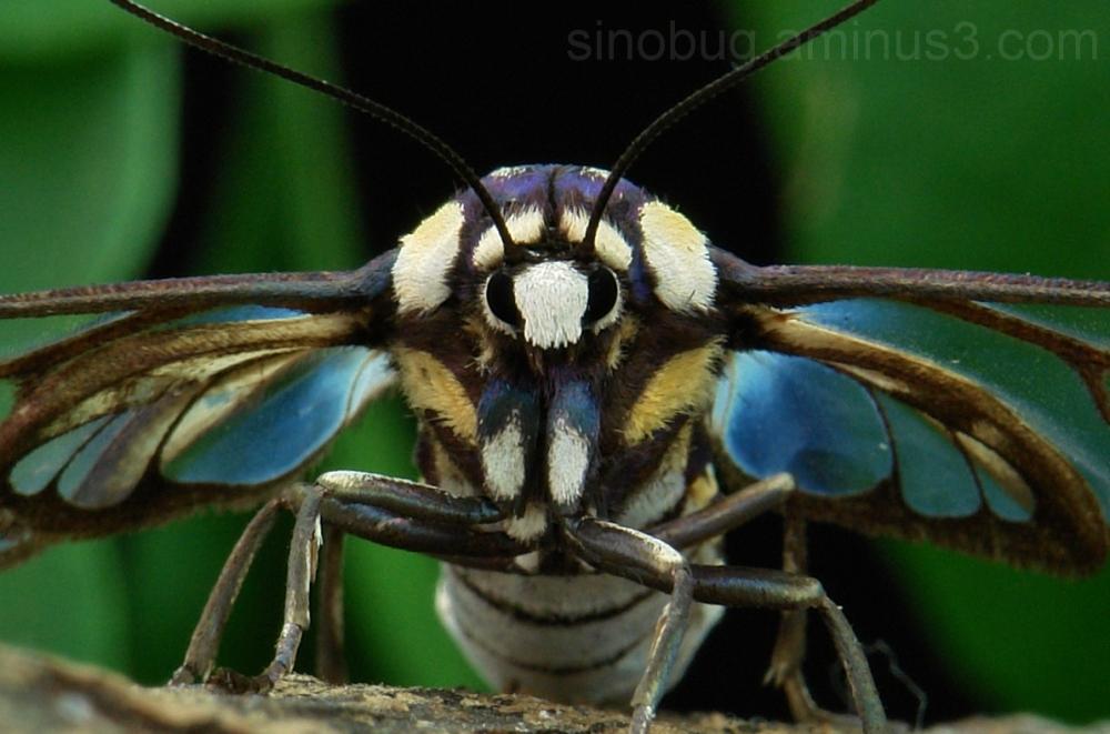 insect China macro moth Lepidoptera wasp Syntomini